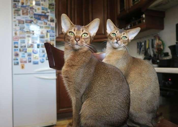 Jenis Kucing Abisinia