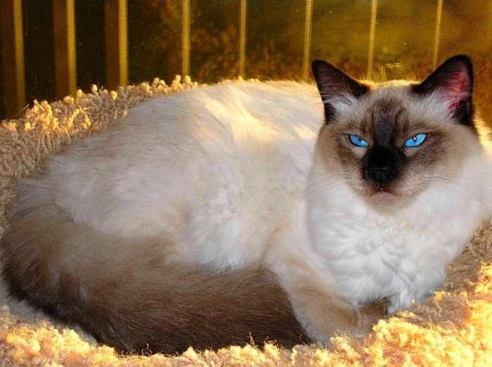 Jenis Kucing Bali