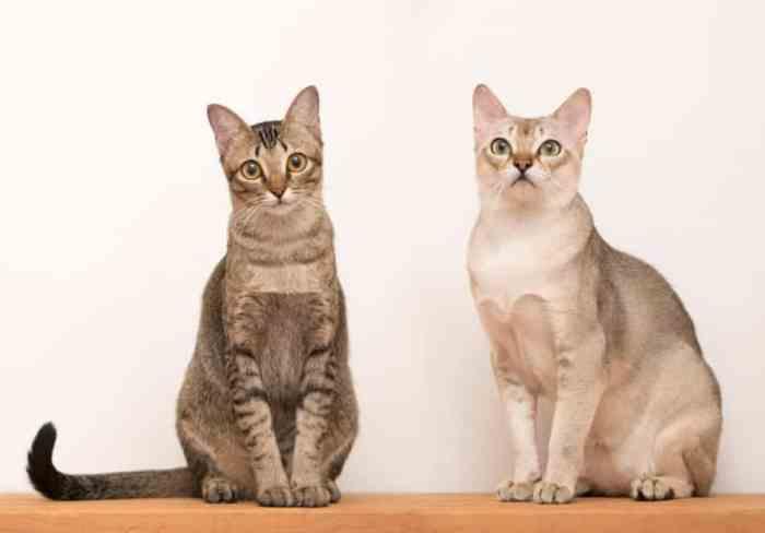 Jenis Kucing Singapura