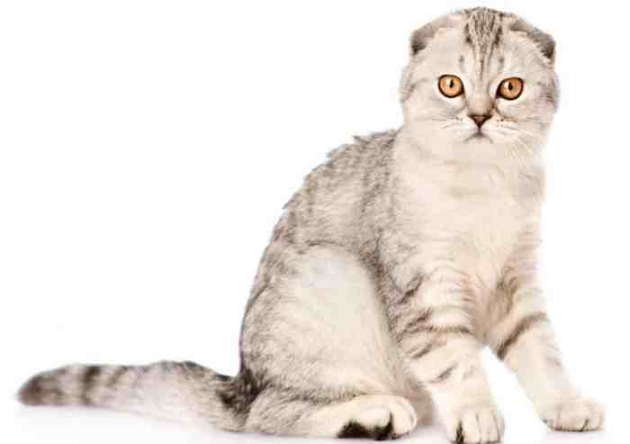 Jenis Kucing Telinga Lipat Skotlandia