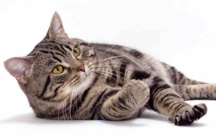 Jenis Kucing Manx