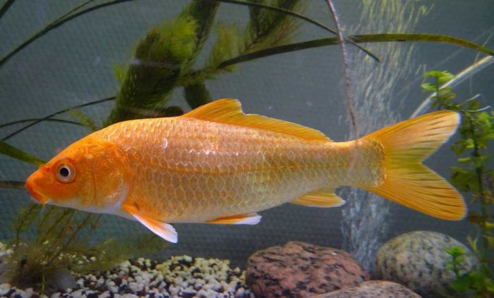 Unduh 820 Gambar Ikan Koi Untuk Mewarnai Terbaru