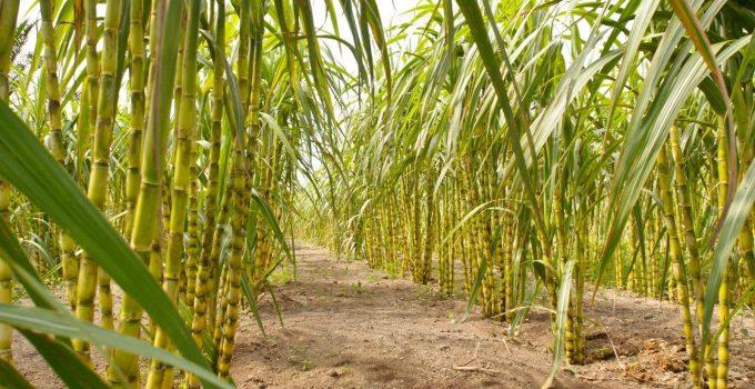 Hasil gambar untuk tanaman tebu hd