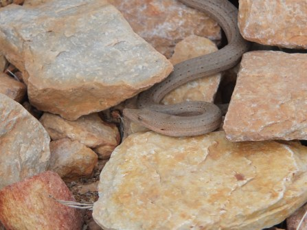 A legless lizard (I think)
