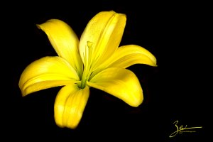 Yellow Lily on Black