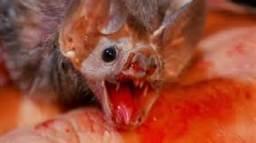 vampbatfeeding