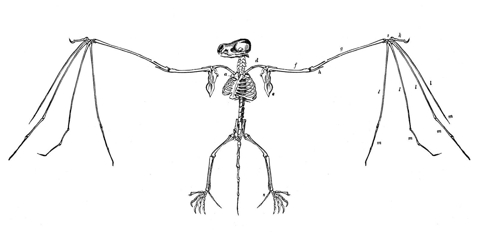 Bat Skeleton Vintage Graphicsfairy1