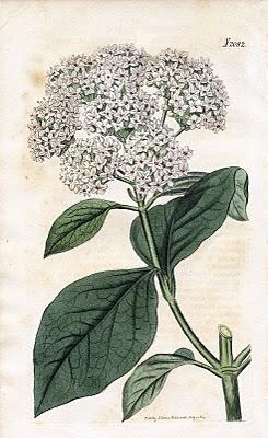 Lovely Antique Botanical Graphic Viburnum The Graphics