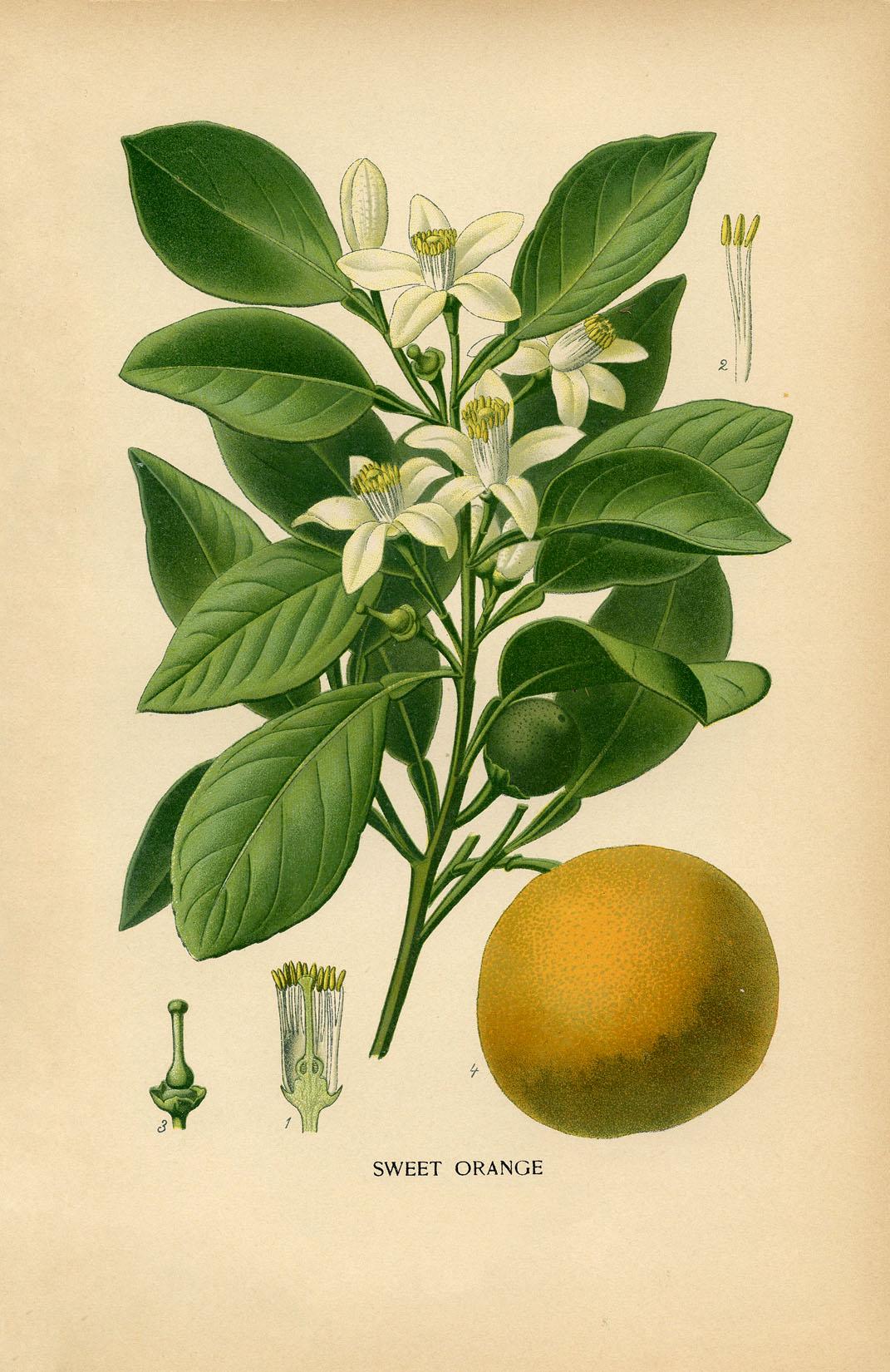 Vintage Botanical Print Orange Graphicsfairysm