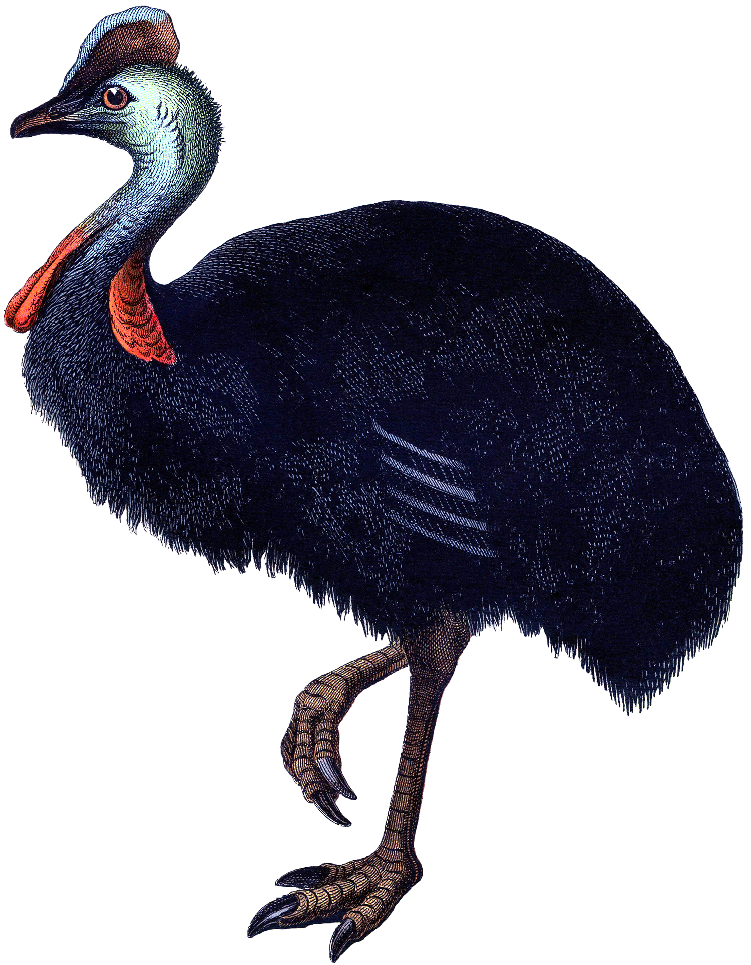 Vintage Ostrich Image 2 Cassowary The Graphics Fairy