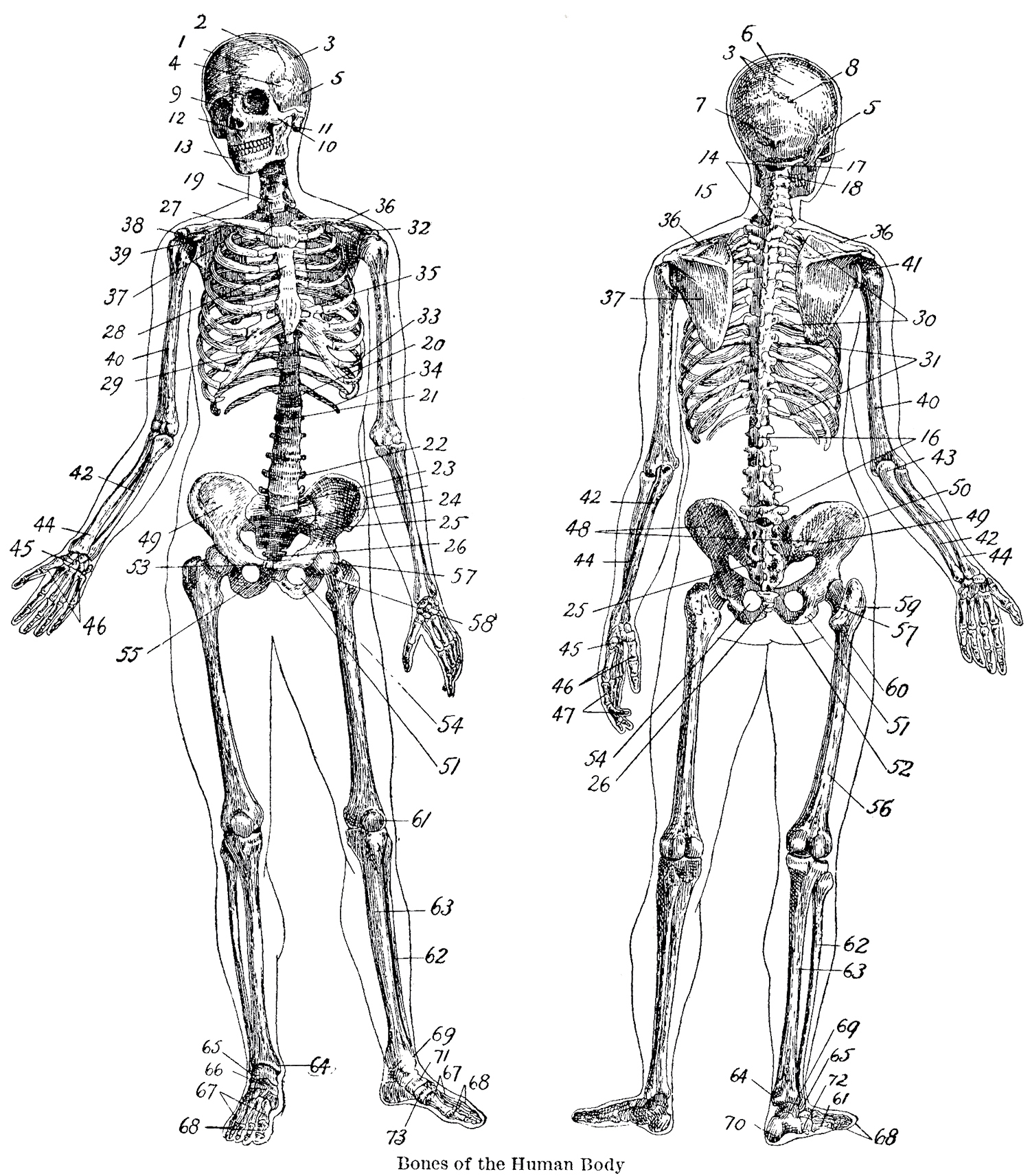 Bone Diagram Back