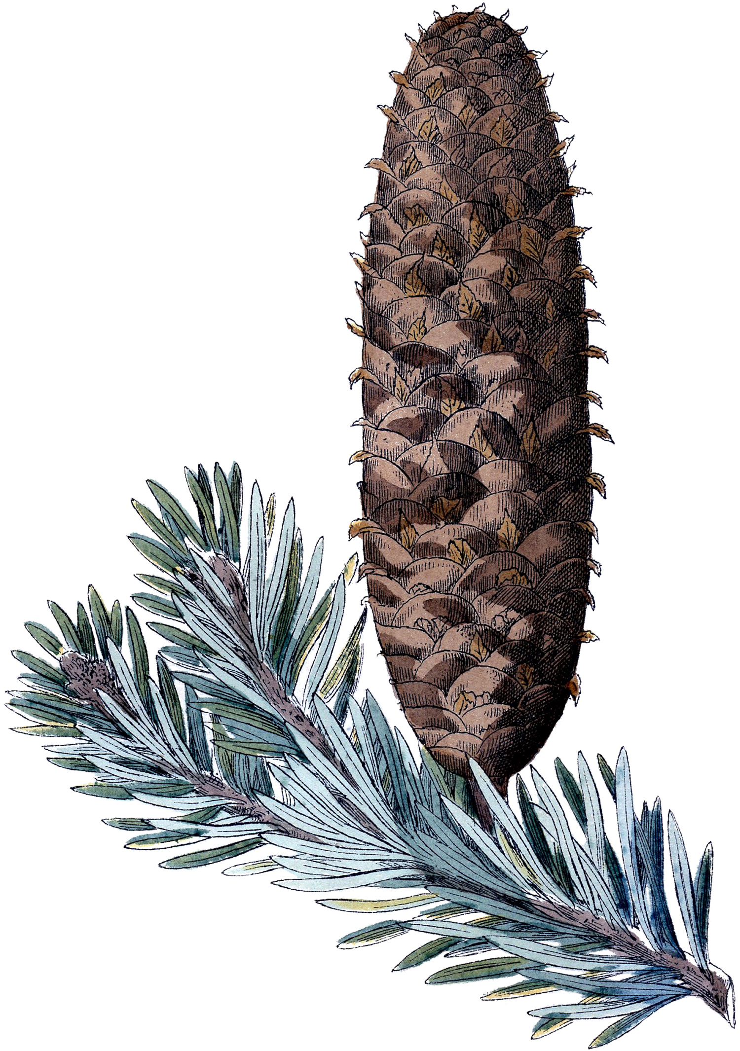 Free Pine Cone Picture The Graphics Fairy