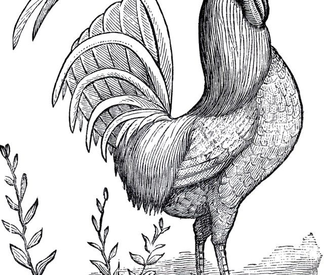 Public Domain Rooster Image