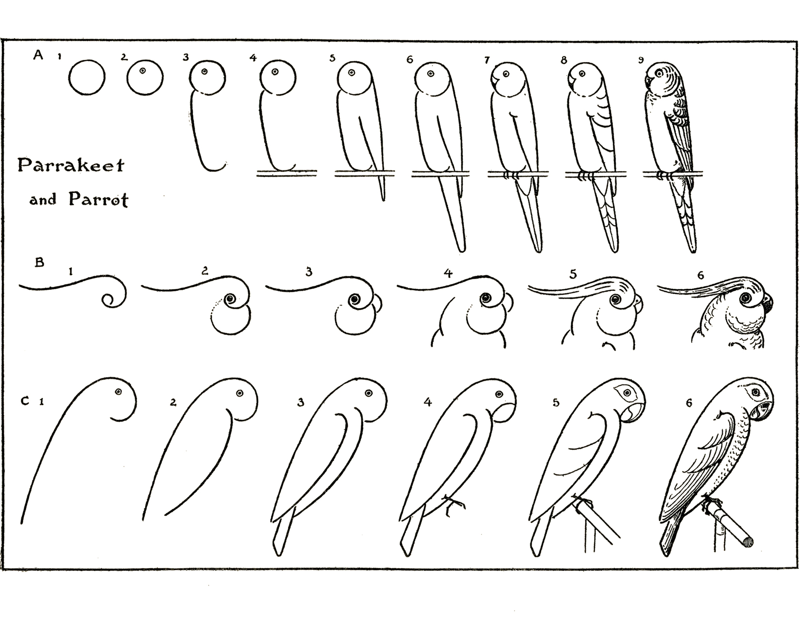 How To Draw Parrots The Graphics Fairy