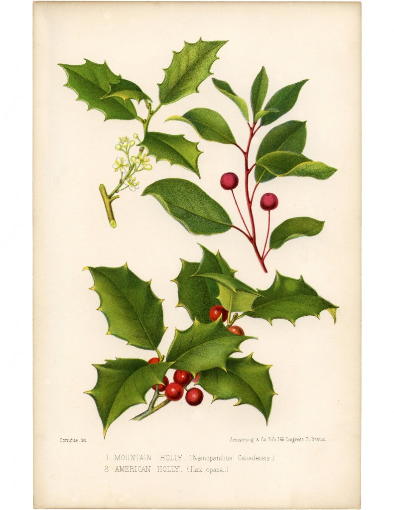 Vintage Holly Printable Beautiful Botanical The