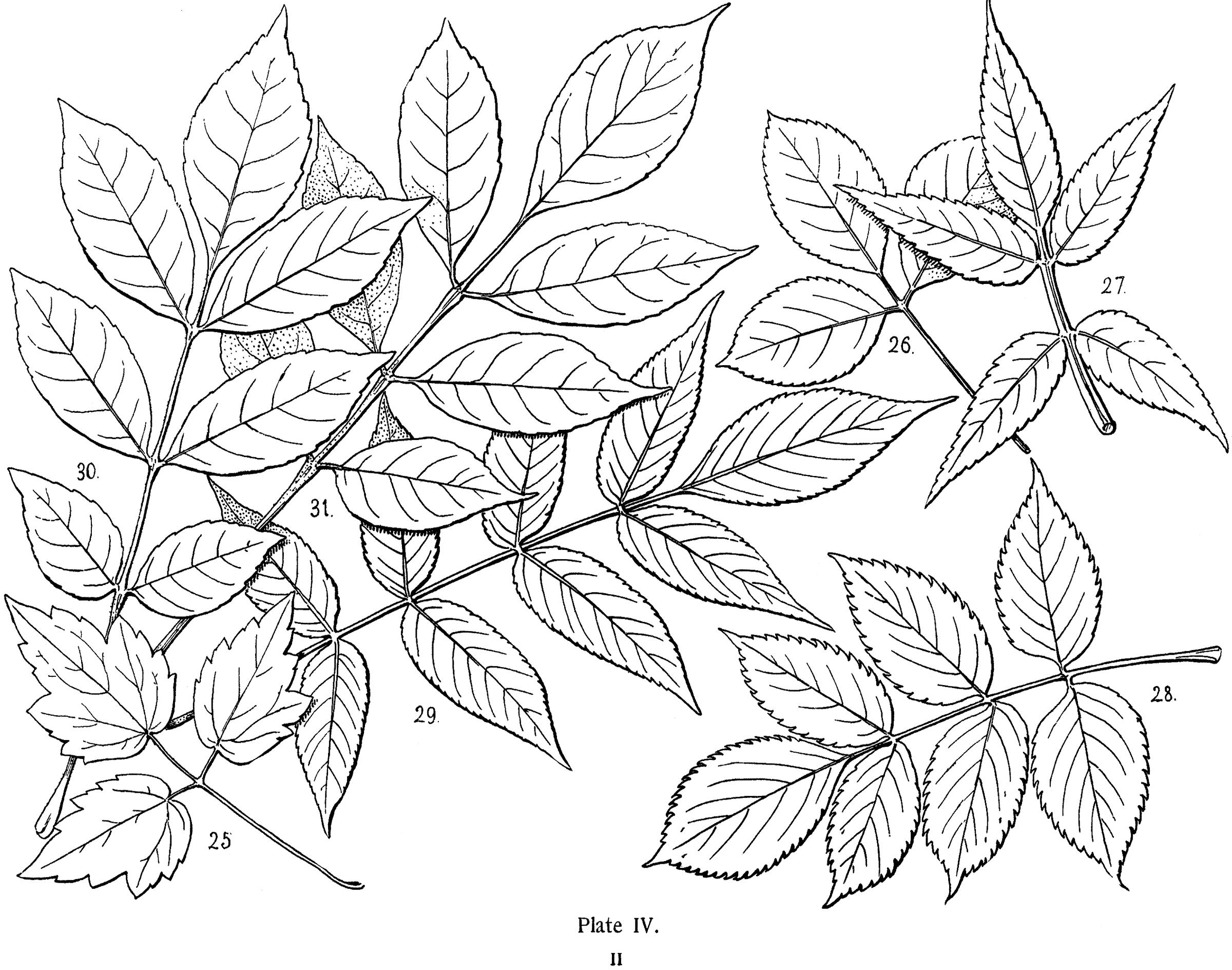 Vintage Leaves Illustration