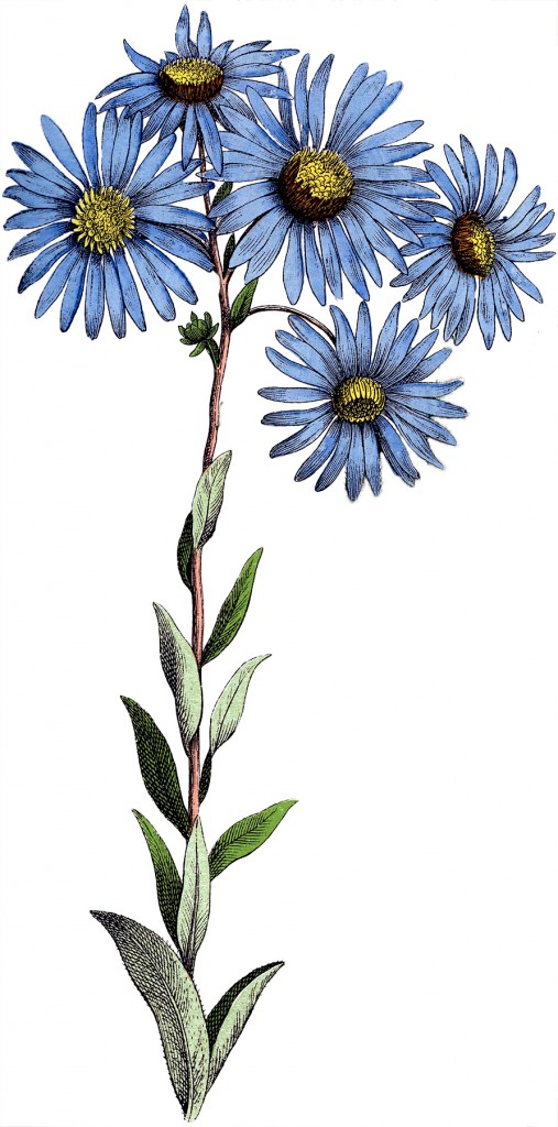 Blue Daisy Flowers Image Botanical The Graphics Fairy