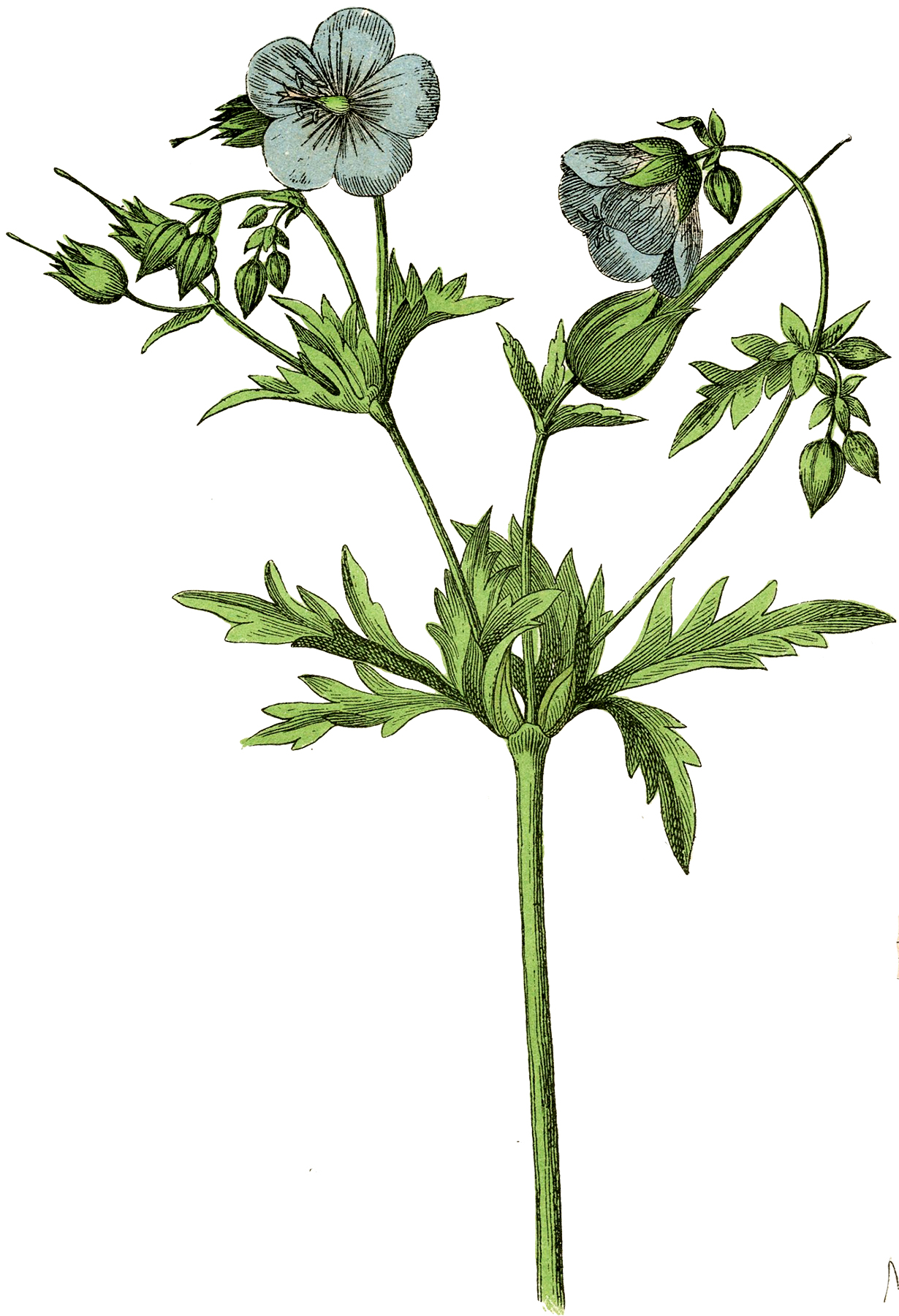 Lovely Blue Botanical Flower Stock Image The Graphics Fairy