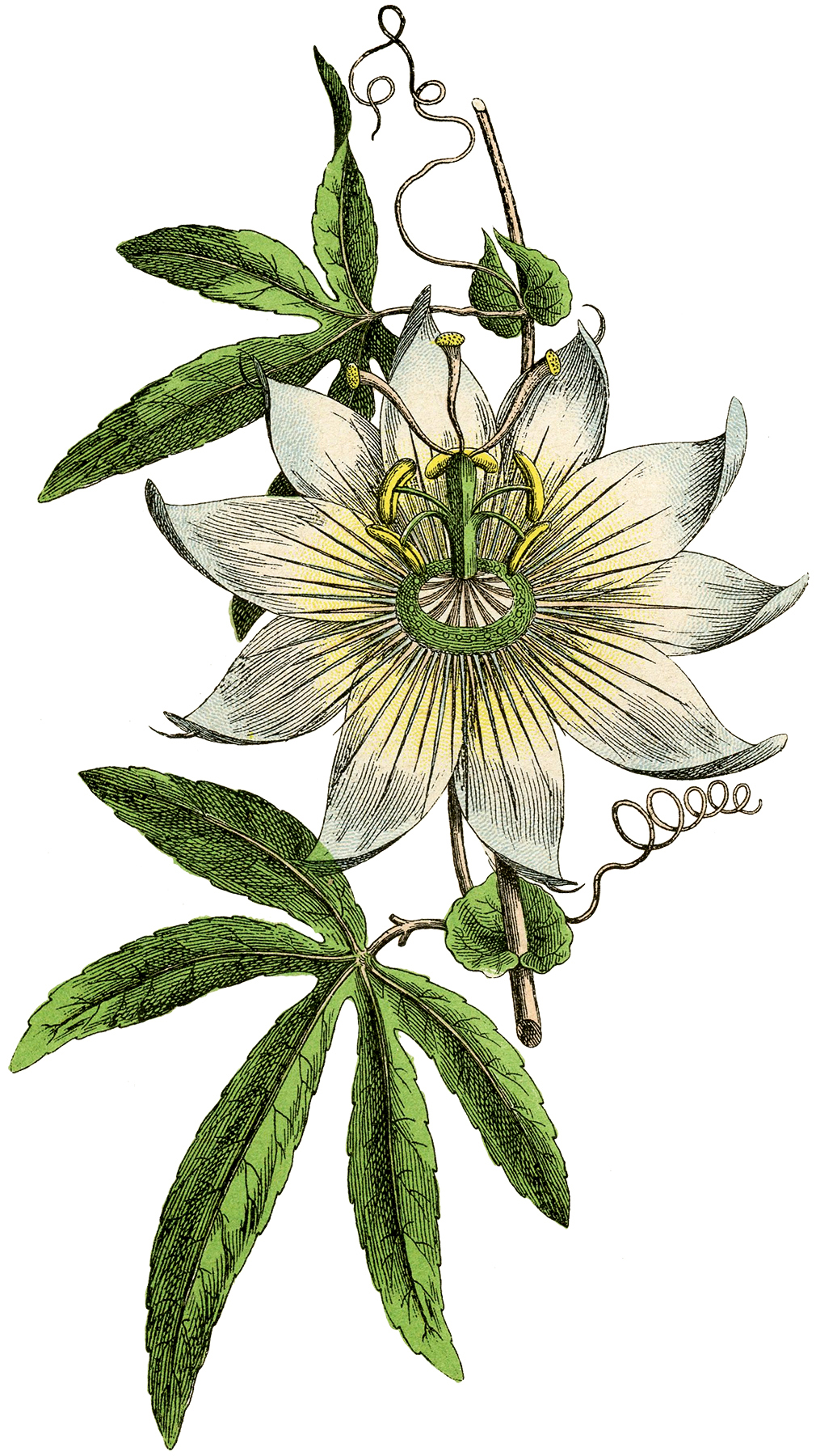 Vintage Passion Flower Image The Graphics Fairy