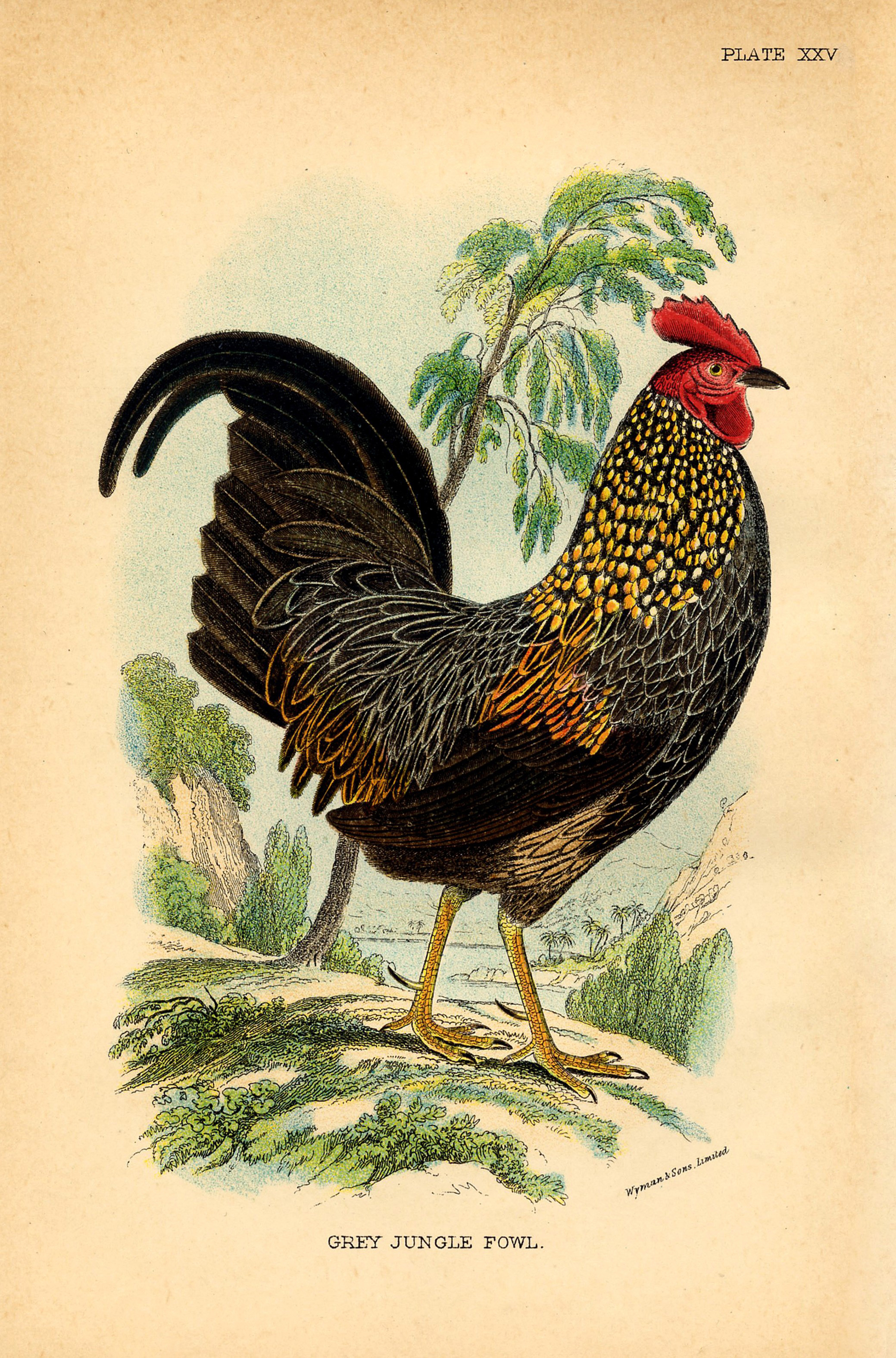 14 Rooster Images