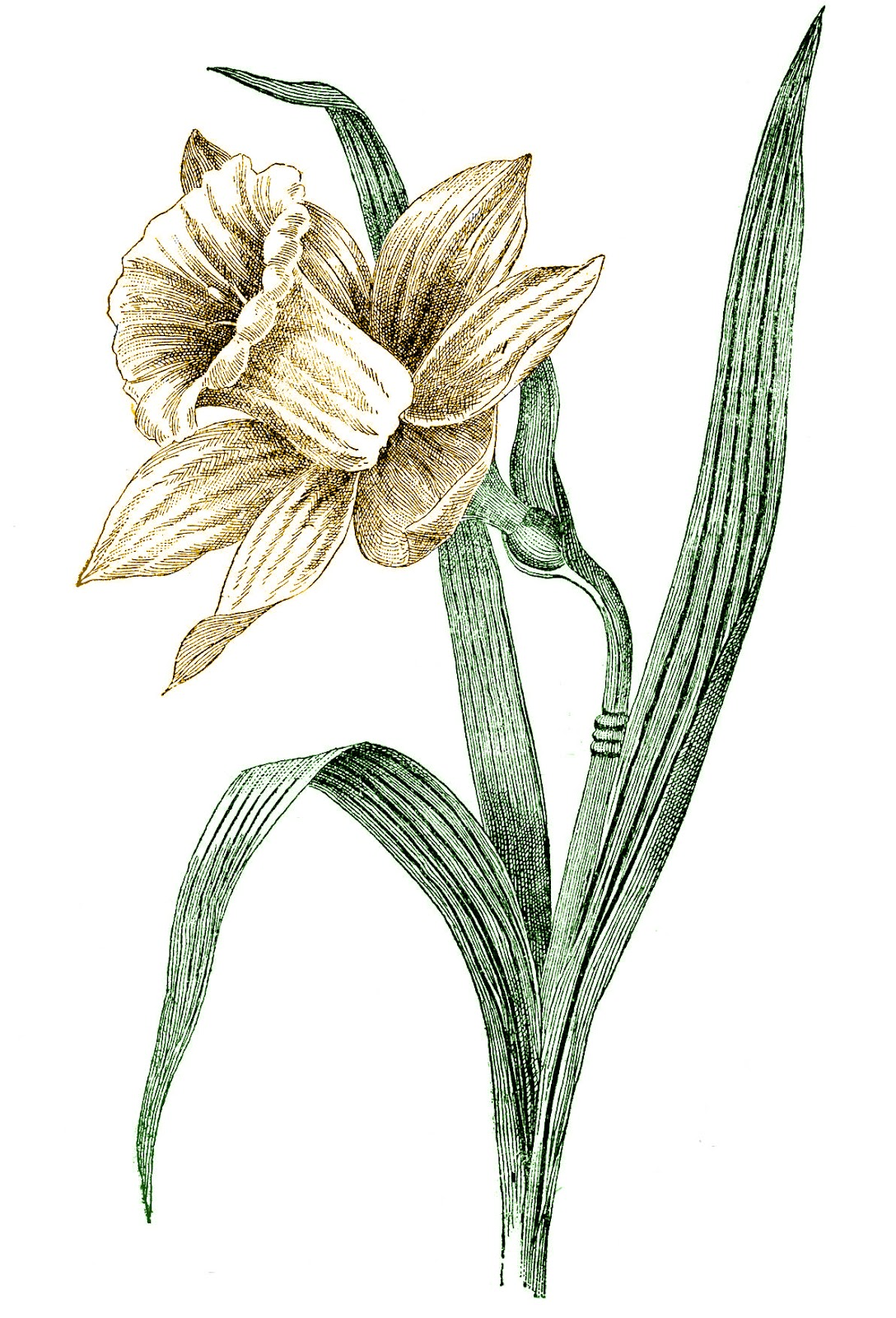 Vintage Spring Clip Art Daffodil The Graphics Fairy