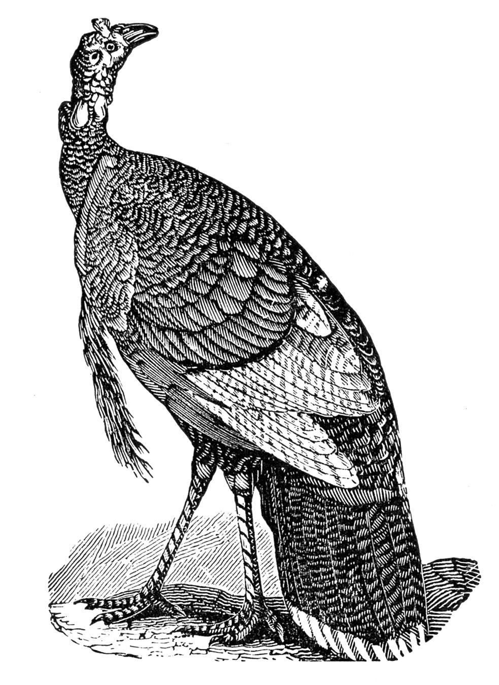 Vintage Thanksgiving Clip Art Turkeys The Graphics Fairy