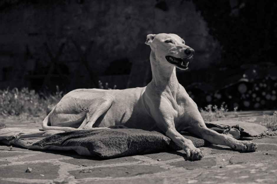 white short coated dog lying on brown ground
