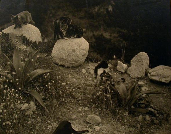 E Weston, cats on rocks 1944