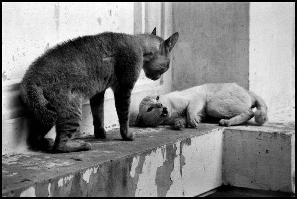 Elliott Erwitt, Cat Fight