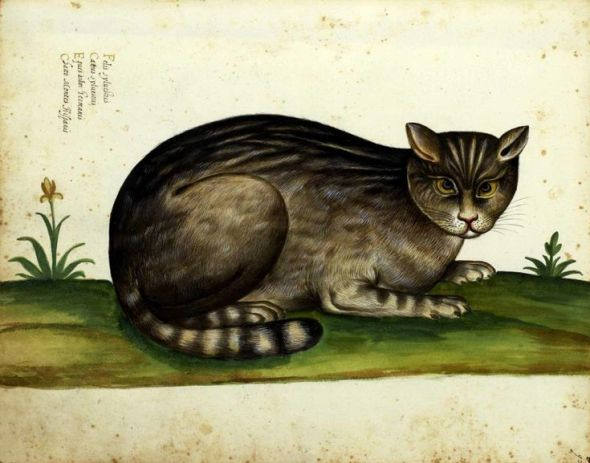 Wild cat - From 'Natura Picta' by Ulisse Aldrovandi