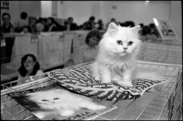 Cat show. White cat with his Portrait on a Magazine Cover, 1985 Richard Kalvar