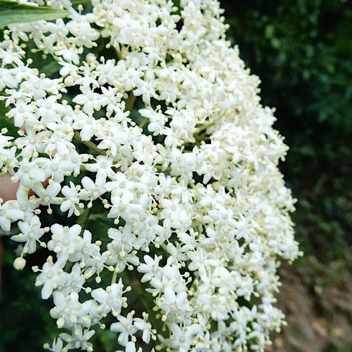Elderflower In Season Flowers
