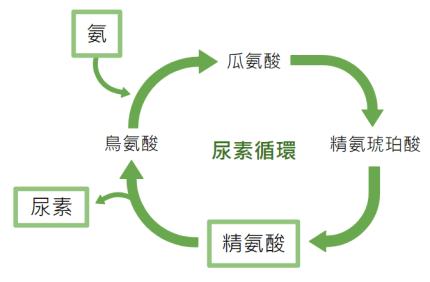 精胺酸與尿素循環