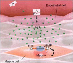 精胺酸血管內皮