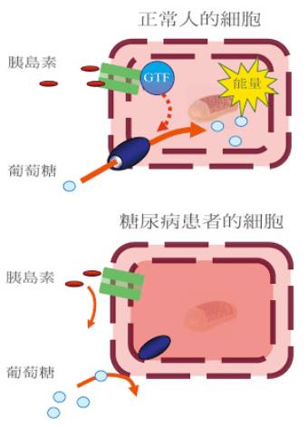 葡萄糖耐受因子GTF糖尿病降血糖