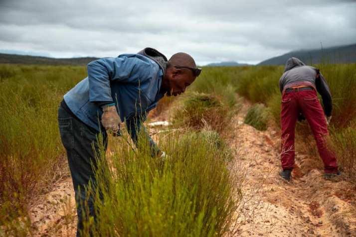 南非國寶茶推薦品牌Rooibos 全球市佔第一