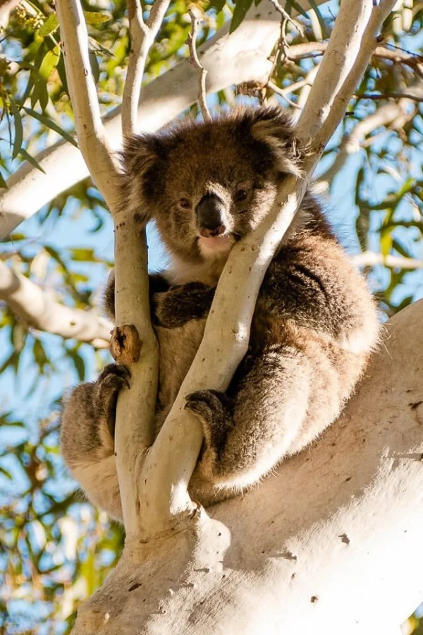 Koala in tree at Morialta