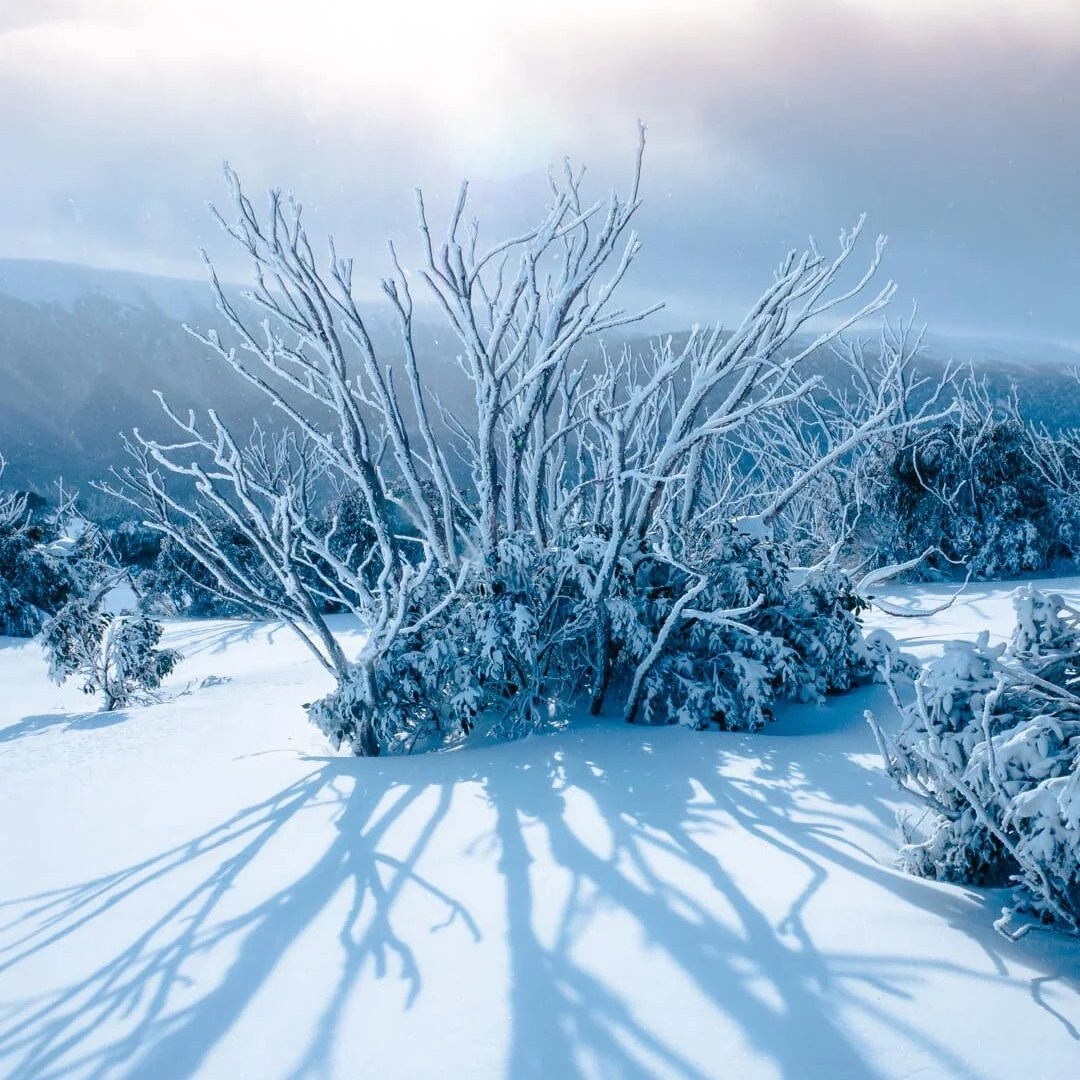 Snow Gums in The Maze at Falls Creek
