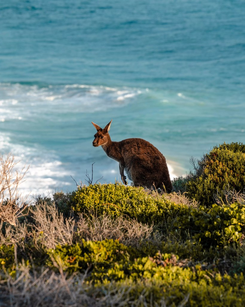 Kangaroo with ocean waves - Innes National Park