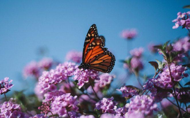 Lilac shrub for garden