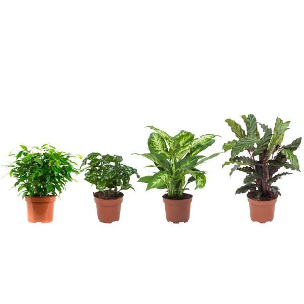 Ficus, Koffieplant, Dieffenbachia compacta, Calathea