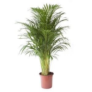 Areca palm (groot)