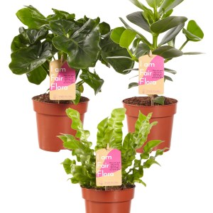 Mix Clusia, Asplenium, Philodendron