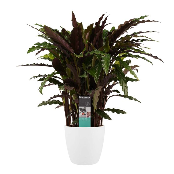 Calathea Elgergrass