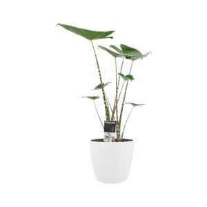 Alocasia Zebrina in ELHO sierpot (wit)