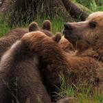 Caça a ursa, mãe de 2 filhotes, indigna italianos