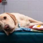 Aplicativo ajuda a encontrar doadores de sangue para animais de estimação