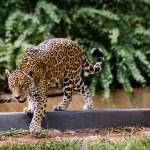Nada de prender! Campanha quer construir refúgios naturais para onças ameaçadas de extinção