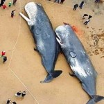 29 baleias cachalotes são encontradas mortas na Alemanha com estômagos cheios de lixo plástico