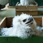 Contra extinção da espécie, PR realiza reprodução de harpia inédita na América do Sul